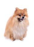 Pomeranian dog on white background Royalty Free Stock Images