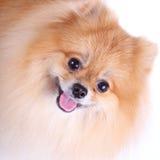 Pomeranian dog on white background Stock Image