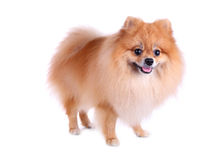 Pomeranian dog on white background Stock Photo