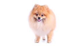 Pomeranian dog on white background Stock Images