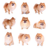 Pomeranian dog on white background. Cute pet in home Stock Photography
