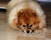 Pomeranian dog wore Glasses. Pomeranian dog wearing Glasses of older people Stock Photos