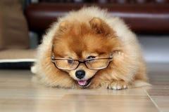 Pomeranian dog wore Glasses. Pomeranian dog wearing Glasses of older people Royalty Free Stock Image
