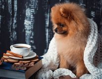 Pomeranian dog wrapped up in a blanket. A stack of books and a cup of coffee. Beautiful dog with books royalty free stock photo