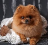 Pomeranian dog wrapped up in a blanket. A stack of books and a cup of coffee. Beautiful dog with books stock photography