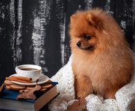 Pomeranian dog wrapped up in a blanket. A stack of books and a cup of coffee. Beautiful dog with books stock photo