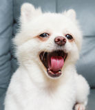 Pomeranian dog yelling Stock Photography