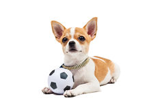 Pomeranian dog, young puppy Stock Photo