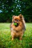 Pomeranian dog (Zwergspitz) Stock Photos