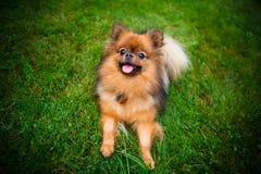 Pomeranian dog (Zwergspitz) Royalty Free Stock Photo