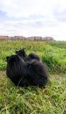Pomeranian dogs german spitz outdoor pet Stock Photos
