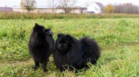 Pomeranian dogs german spitz outdoor pet Royalty Free Stock Photos