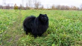 Pomeranian dogs german spitz outdoor pet Stock Photo