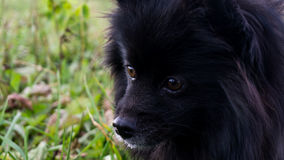 Pomeranian dogs german spitz outdoor pet Royalty Free Stock Image