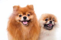 Pomeranian dogs Royalty Free Stock Image