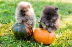 Pomeranian dogs and pumpkin, halloween Stock Photography