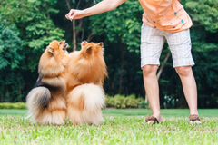 Pomeranian dogs standing on its hind legs to get a treat Stock Photo
