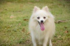 Pomeranian. Dogs are tongue tongue Stock Photography