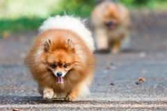 Pomeranian dogs walking on the road in the garden Stock Photography