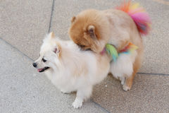 Pomeranian dogs Royalty Free Stock Images