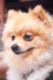 Pomeranian doig Royalty-vrije Stock Afbeelding