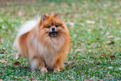 Pomeranian doing the symbol to declare its territo. The pomeranian doing the symbol to declare its territory royalty free stock photography