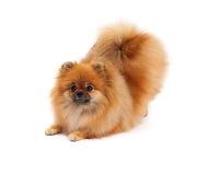 Pomeranian in Downdog-Position Stockfotos