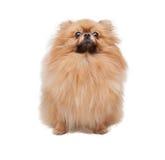 Pomeranian drôle images libres de droits