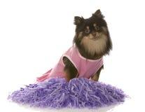 Pomeranian dressed as cheerleader Stock Photos