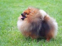 Pomeranian Dwarf Spitz on  green lawn Royalty Free Stock Photos