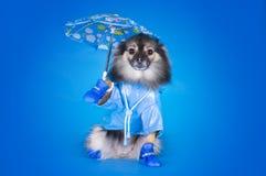 Pomeranian in een regenjas met paraplu op een blauwe backgr wordt geïsoleerd die Stock Foto