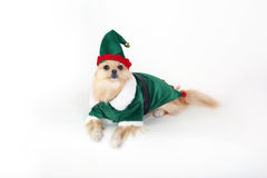 Pomeranian elf. Adorable Pomeranian dressed up as an elf for christmas Royalty Free Stock Image