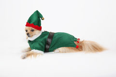 Pomeranian elf Stock Photos