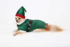 Pomeranian elf. Adorable Pomeranian dressed up as an elf for christmas Stock Photos