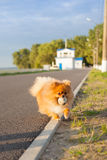 Pomeranian en el camino imagen de archivo