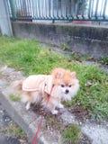 Pomeranian en el paseo imagenes de archivo