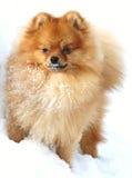 Pomeranian en hiver Image libre de droits