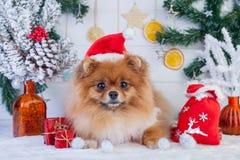 Pomeranian en la ropa de santa en un fondo de las decoraciones de la Navidad Foto de archivo libre de regalías
