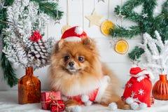 Pomeranian en la ropa de santa en un fondo de las decoraciones de la Navidad Foto de archivo