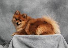 Pomeranian en una plataforma Imagenes de archivo