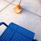 Pomeranian am Ende seiner Führung nahe einem Stuhl Lizenzfreie Stockfotos