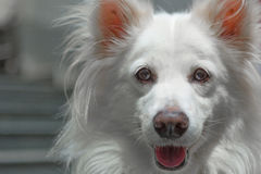 Pomeranian Eyed vidro Imagem de Stock Royalty Free