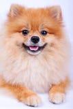Pomeranian förföljer på vitbakgrund Royaltyfri Foto