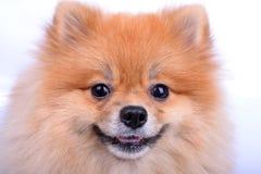 Pomeranian förföljer Arkivbilder