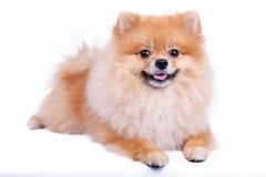 Pomeranian förföljer Fotografering för Bildbyråer