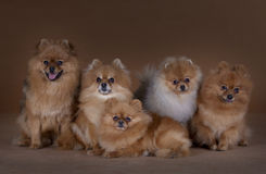 Pomeranian family poses in studio. Five Pomeranian poses happy in studio with brown background Stock Images
