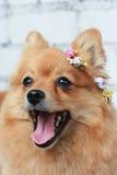 Pomeranian feliz Foto de archivo libre de regalías