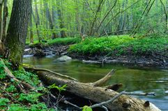 Small brook in a dense forest. Pomeranian forests are one of most beautiful places on Earth. Lets take an unusual look on them - this small brook, hiden in a Royalty Free Stock Photo