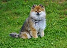 Pomeranian. Foxy looking 5 year old Pomeranian Royalty Free Stock Photo