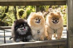 Pomeranian - fuori facendo un'escursione immagine stock libera da diritti